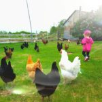 Catching Chickens Stress Free