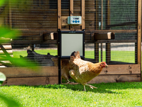 Top five things to consider to make your chickens happy this summer