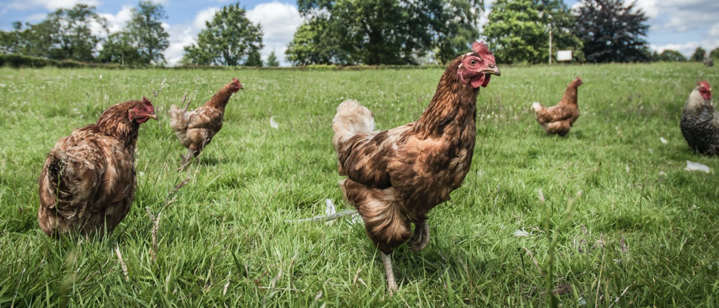British Hen Welfare Trust Hen Hospital Appeal