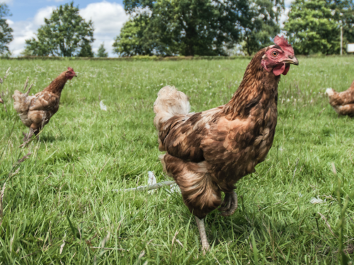 ChickenGuard Commits to BHWT's Hen Hospital Appeal