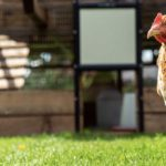 The Cost of Keeping Chickens