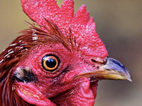Chicken of the Month January 2020, Chicken Guard The Worlds Best Automatic Chicken Coop Door Opener