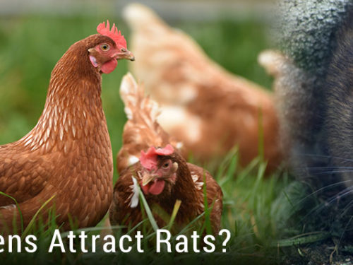 Do Chickens Attract Rats?