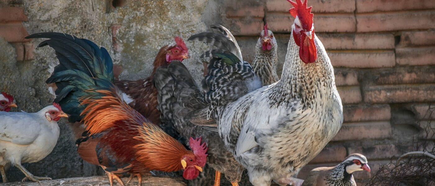 ChickenGuard - Auto Coop Door Openers Chicken of the Month