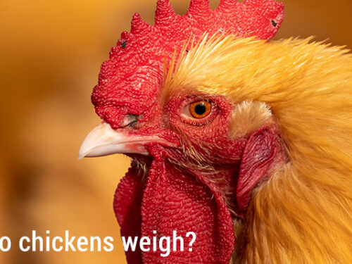 How much do chickens weigh?