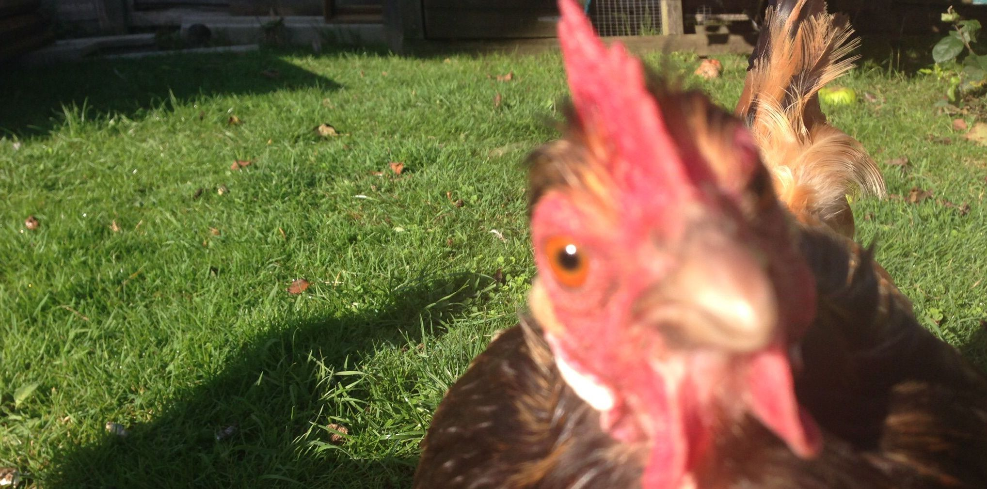 Tales from the Coop Cheepy
